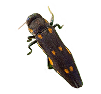 Goldspotted Oak Borer (GSOB)
